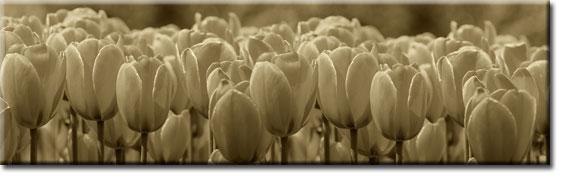 fotoszyby tulipany