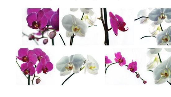 okleina na szybę orchidea