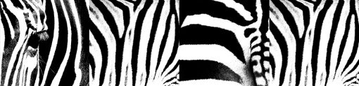 naklejka na szybę zebra